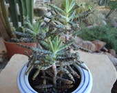 Kalanchoe Tubiflora Maternity Plant CUTTING, Mother of Thousands Succulent Plant