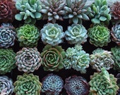 RESERVED for Helen Maas, A Collection of 100 Succulent Plant Rosettes for Your Wedding Favors or Centerpieces