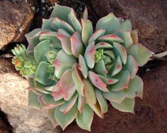 Echeveria Ramillette, Succulent Rosette