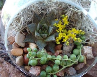 Succulent Terrarium Garden Hanging Glass Globe with Gift Box