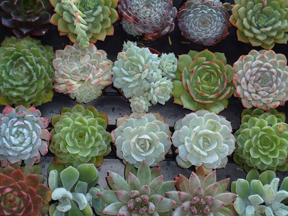 RESERVED Listing for abbydecicco for Her September Wedding  A Collection of 100 Assorted Succulents in Various Sizes
