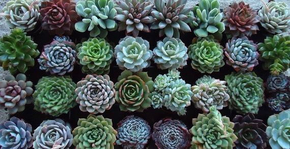 RESERVED for Barbara Butts, A Collection of  Succulent Plant Rosettes for Her Wedding