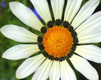 Larger Than Life Daisy  art photo