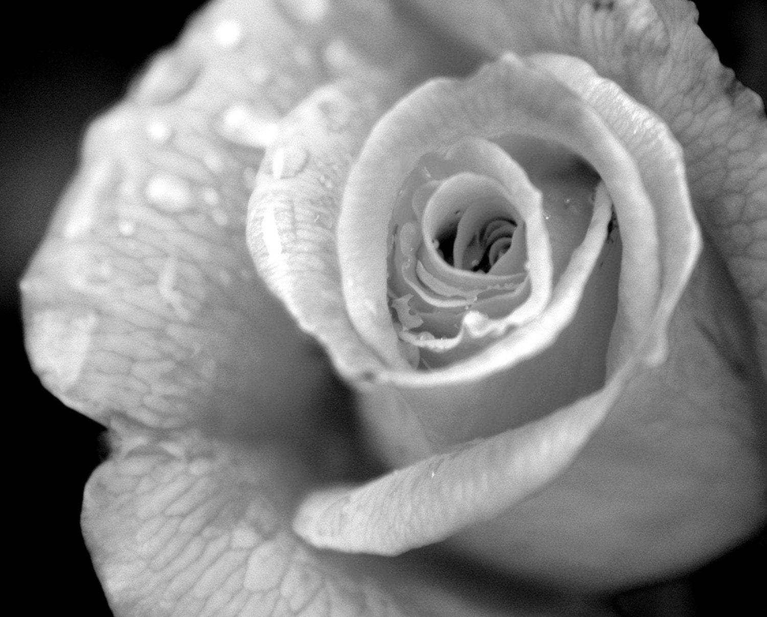 Black and White Rain Drop Rose art photograph