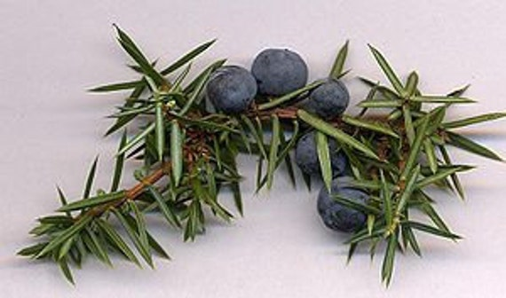 6 pack Juniper Berry Palm Votives