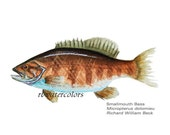 art for him Smallmouth Bass Fish  PRINT  8x10 wall decor  outdoors art man cave room den office study decor sportsman sportsmen