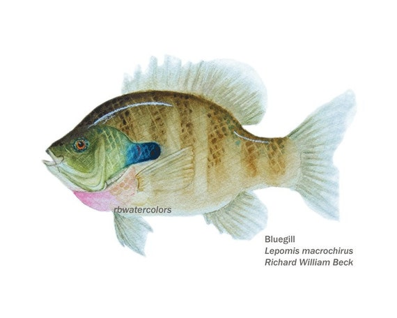 Kids wall art Fish Children art print Fish Print BLUE GILL gift for man under 15 5x7 print fish painting fish fly fisherman