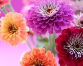 Organic Zinnia Lilliput Mix Heirloom Flower Seeds