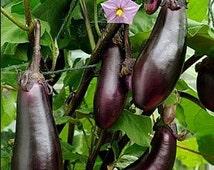 Organic Black Beauty Eggplant Heirloom Vegetable Seeds