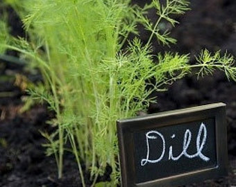 Organic Dill Bouquet Heirloom Herb Seeds