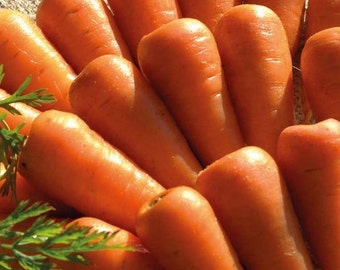 Organic Chanteney Carrot Red Cored Heirloom Vegetable Seeds