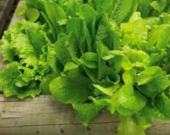 Organic Salad Bowl Green Lettuce Heirloom Vegetable Seeds