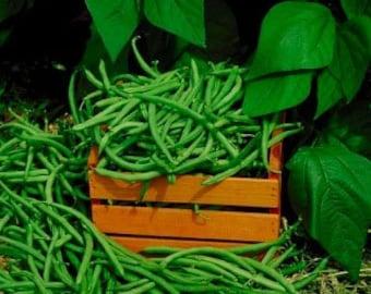 Organic Kentucky Wonder Pole Bean Heirloom Vegetable Seeds