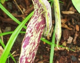Organic Dragon Tongue Bean Heirloom Vegetable Seeds