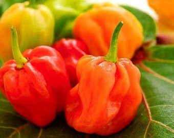 Organic Orange Habanero Chile Pepper Heirloom Vegetable Seeds