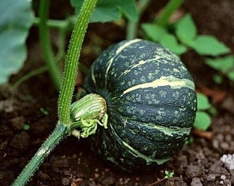 Organic Buttercup Winter Squash Heirloom Vegetable Seeds