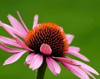 Organic Echinacea Purple Coneflower Heirloom Flower Seeds