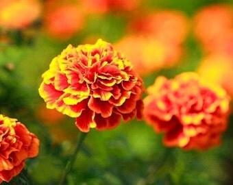 Organic Marigold Sparky Mix Heirloom Flower Seeds