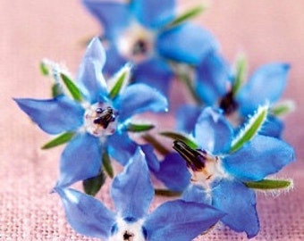 Organic Borage Heirloom Herb Seeds