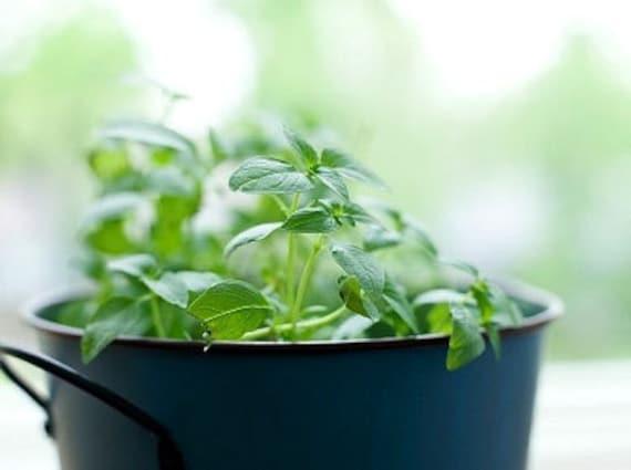 Organic Oregano Heirloom Herb Seeds