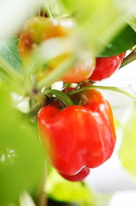 Organic California Wonder Bell Pepper Heirloom Vegetable Seeds