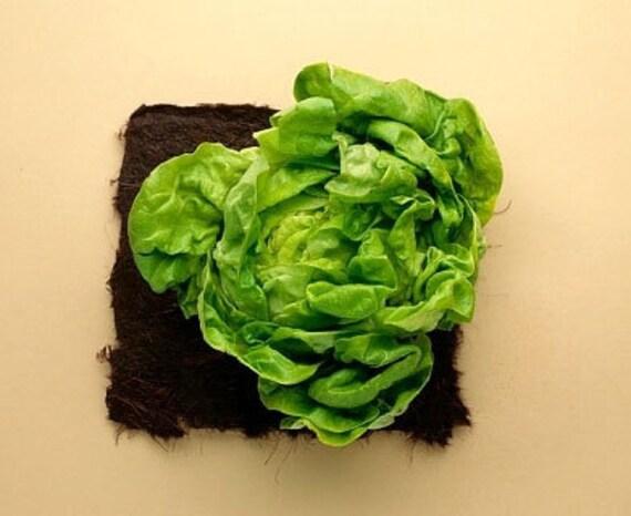 Organic Buttercrunch Head Lettuce Heirloom Vegetable Seeds