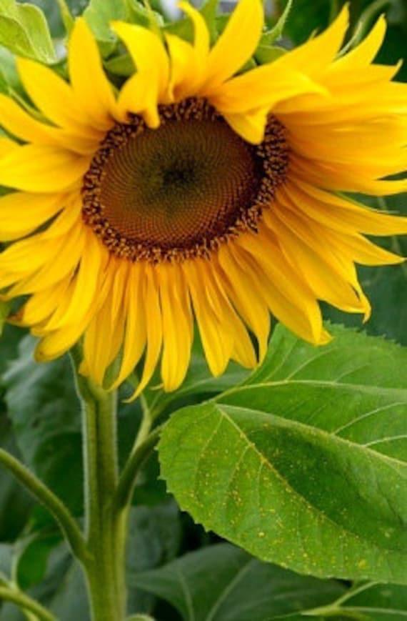 Organic Sunflower Mammoth Grey Striped Heirloom Flower Seeds