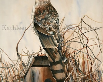 Cooper's Hawk- signed limited edition watercolor print