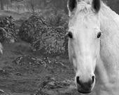 White Horse - 5x5 fine art print