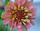Heirloom Zinnia Flower Seeds