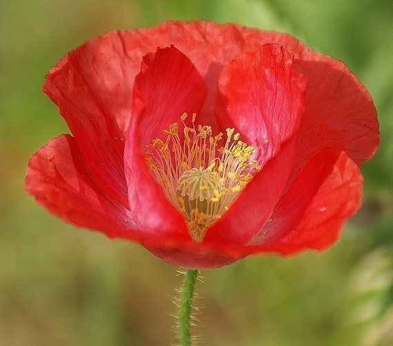 Heirloom Red Corn Poppy Flower Seeds