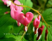 Bleeding Heart Series No. 3 - Fine Art Photograph, 4x6 matted, ready to frame - IN STOCK