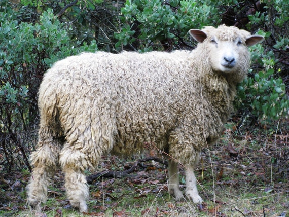 One Month Sponsorship of Sheep - Little Marzipan