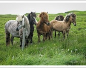 ICELANDIC Horses Animal Photography color photograph of horses in Iceland meadow