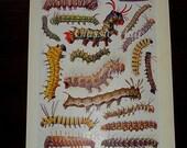 Antique Print of Strange Caterpillars