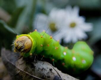 Larval Eagle - Caterpillar Bug - 4x6 Fine Art Photograph