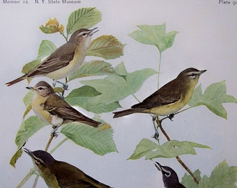 1915 Warbling Vireo, Red-Eyed Vireo Bird Illustration by Louis Agassiz Fuertes