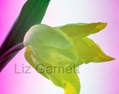 A6 Postcard Size Limited Edition Photograph of Yellow Tulip (UK456/18) 1/1