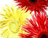 A6 Postcard Size Limited Edition Photograph of Spider Gerbera Flowers (UK565/36) 1/1