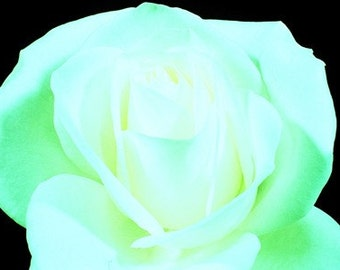 White Rose Flower (UK598/05) Limited Edition of 45