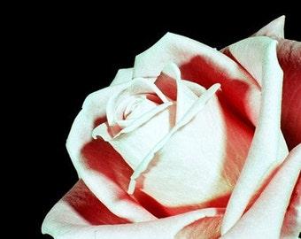 Pink Rose flower (UK598/01) Limited Edition of 45