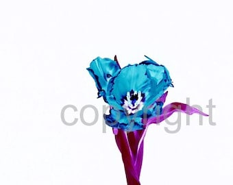 A6 Postcard size limited edition photograph of Blue Tulip (UK598/19p - 1/1)