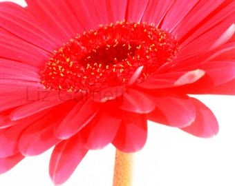 SALE - Contemporary Photograph of Red Gerbera Flower (UK575/22 - 1/45) mounted - reduced for studio clearance