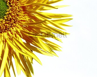 Yellow spider gerbera flower photograph (UK565/06) limited edition of 45