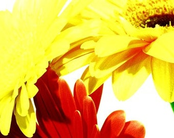 Red and yellow gerbera flowers photograph (574/23) Limited Edition of 45