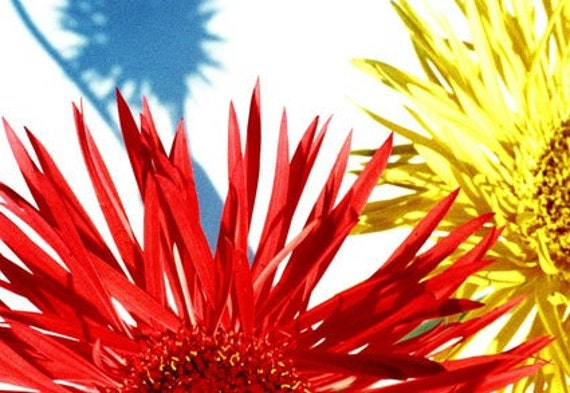 Yellow and red spider gerbera flowers photograph (565/26) Limited Edition of 45