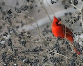 5x7 Photo Cardinal Red Male in a Bush With Berries During Winter