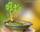 Greenthumb Bonsai Garden for Blackthumb Persons