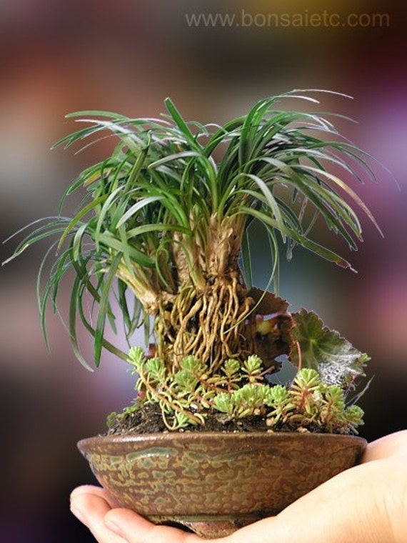 Handcrafted Japanese Bonsai Grass and Exotic Plants