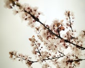 Blossoming - Spring Cherry Blossoms Photo -  Fine Art Archival Photograph